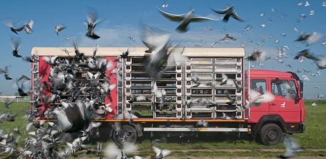 Oliver Merce - Racing Pigeons
